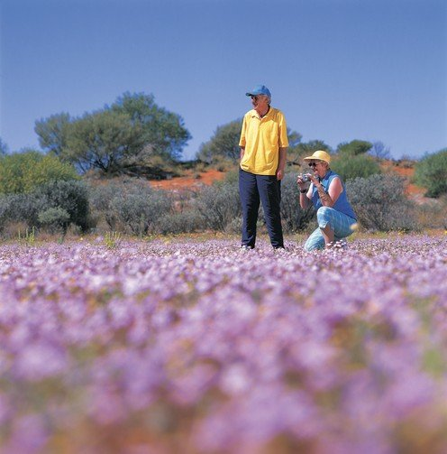 Couple taking photograph of pink wildflowers just off the Mullewa - Carnarvon Road, near Murchison Settlement